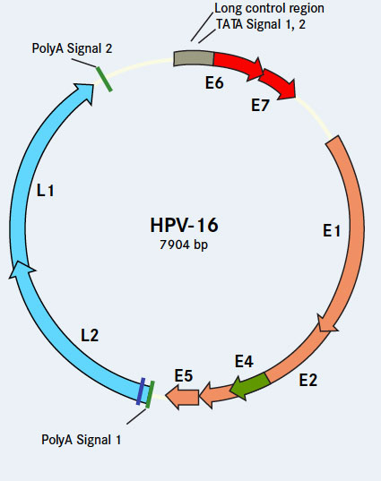 Genomic Structure Of HPV 16